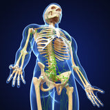 12 CE Hour Lymphatic Drainage Live Interactive Webinar
