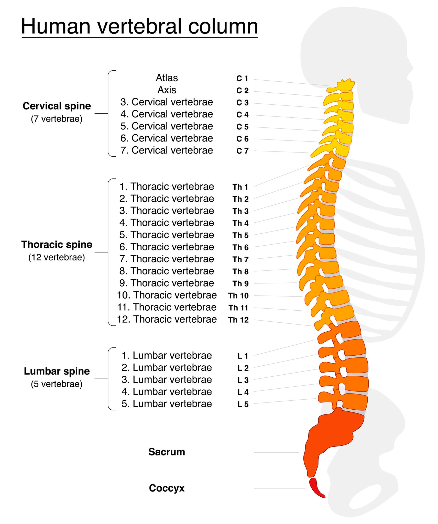 1 CE Hour Spine Anatomy & Back Pathology E-book Course | CE ...