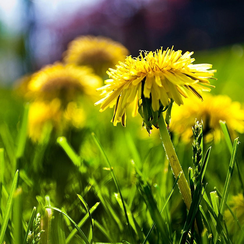 Not just a lawn nuisance, Dandelion Root might benefit your life