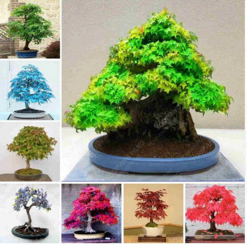 Japanese Bonsai Tree Seeds 7 Kinds(20 seeds)