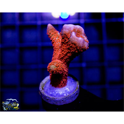Forest Fire Montipora Digitata Buy 1 Get 1 Free