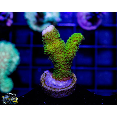Green Montipora Digitata Buy 1 Get 1 Free