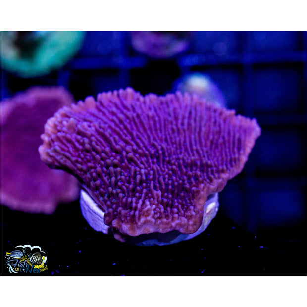 Beginner SPS Frag 6 Pack