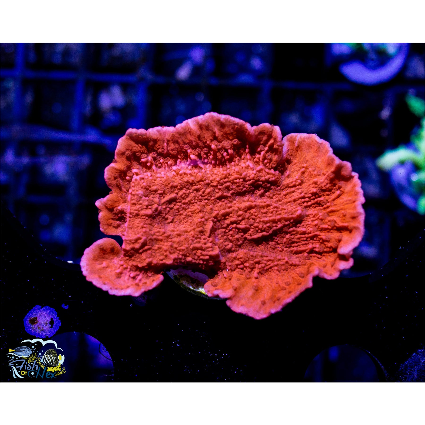 Montipora coral uk betting betting multiple parlays