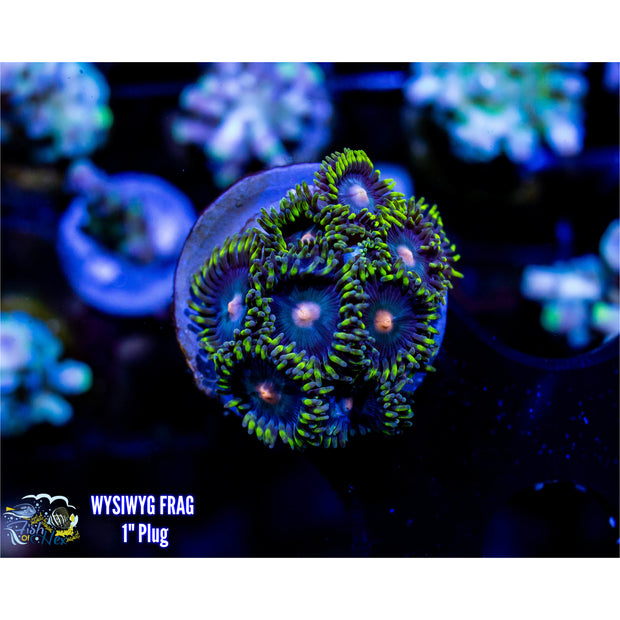 Blue & Green Zoanthid (From 300 Gallon)