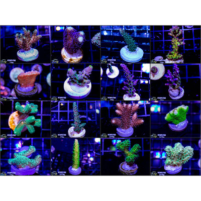 15 Piece Frag Pack (Free Shipping) Email Request