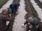 Market farmers planting seedlings into pre punched rolls of organic paper mulch in a field.
