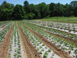 a field with rows of plants that are growing using rolls of biodegradable paper mulch that is 100% biodegradable