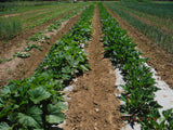 a field with rows of green plants that are growing using rolls of biodegradable paper mulch that is 100% biodegradable