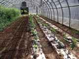 Rows of green plants growing inside a pollytunnel using rolls of creped organic paper mulch that is 100% biodegradable