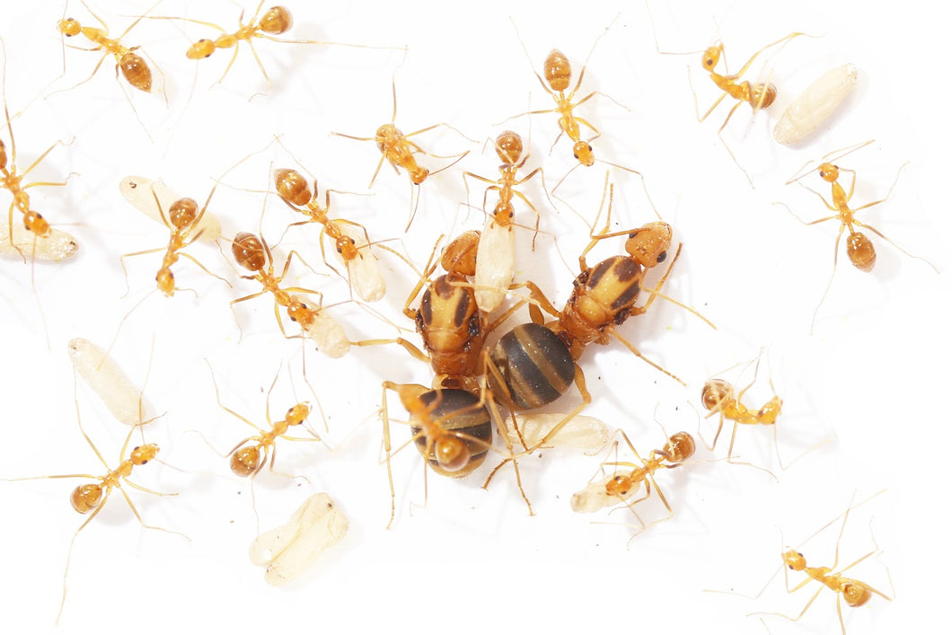 Yellow Crazy Ants (Anoplolepis gracilipes) - Pet Ants Manila
