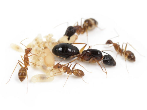 Carpenter Ants (Camponotus sp.) - Pet Ants Manila