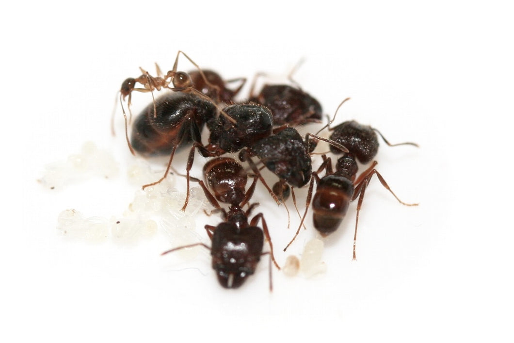 Big-headed Ants (Pheidole sp.) - Pet Ants Manila