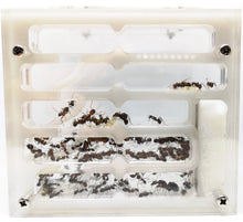 Carpenter Ant Starter PACK - Pet Ants Manila