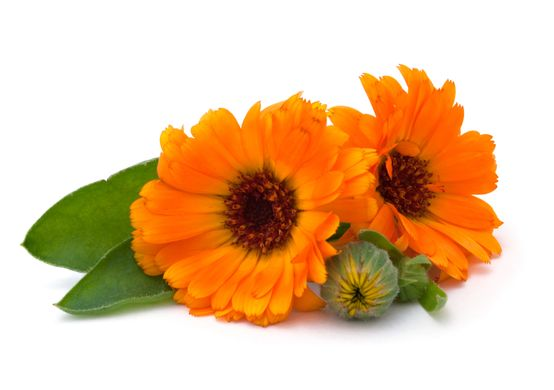 Plump it  Lip Plumper Love My Lips Corpore Sanctum Calendula Flower