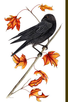 Maple Leaves - American Crow
