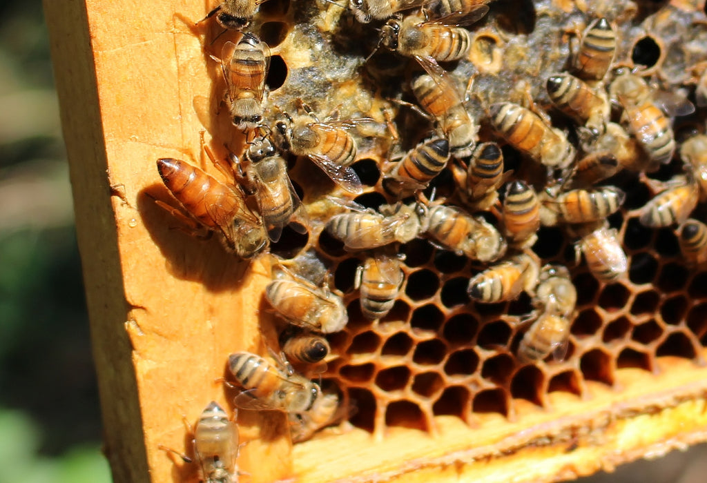 Early Life of a Queen Bee