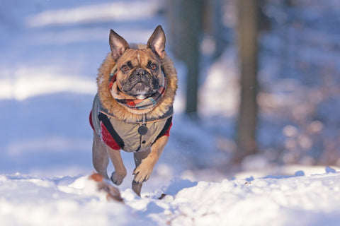 French bulldog running through snow