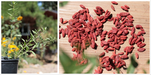Goji Berries - A Super, Food! Goji tree and berries