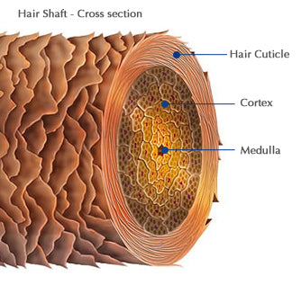 Hair Shaft Cross Section
