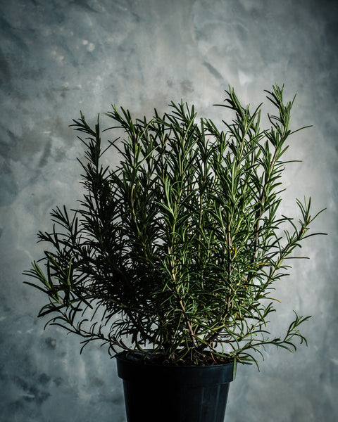 In praise of rosemary