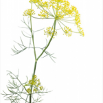 Sweet-fennel