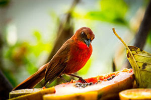 Backyard Birding in Belize
