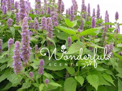 Patchouli the Forgotten Essential Oil