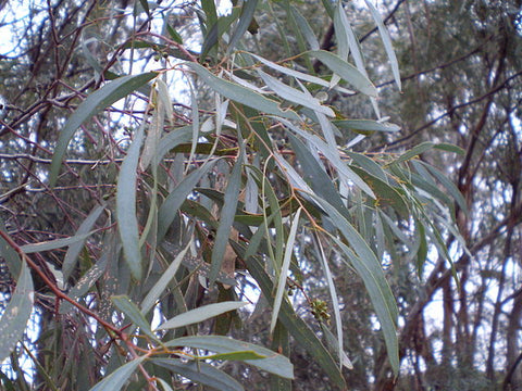 Eucalyptus polybractea or Blue-leaf Mallee, a species yielding high quality eucalyptus oil
