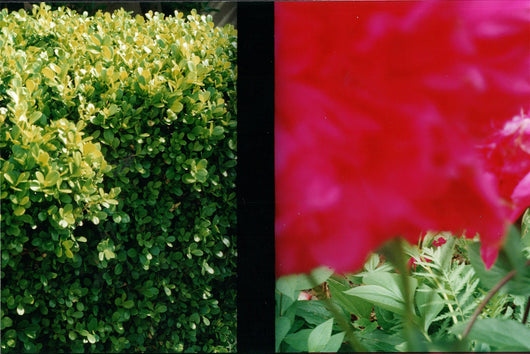 Cynthia Connolly, Boxwood and Rose, Portland, OR, 5-22-2000 (E-Z U-Frame-It series)