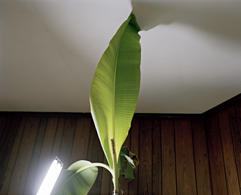 Caitlin Teal Price, Banana Leaf