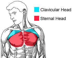 chest exercises muscles worked