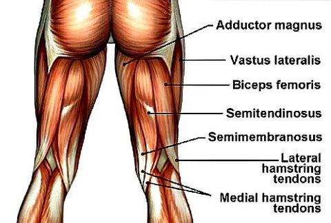 nordic hamstring curl muscles worked