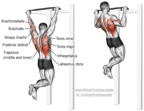 pull ups muscles worked