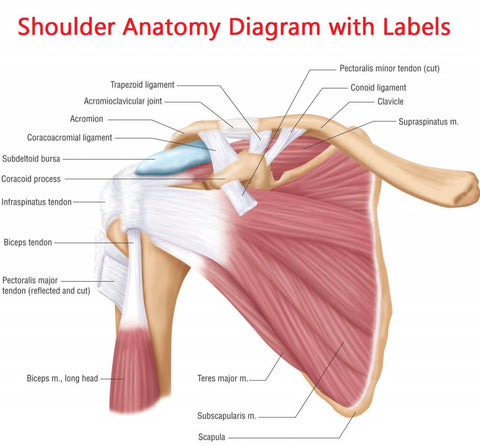 shoulder anatomy muscle breakdown