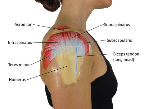shoulder stabilizer muscles