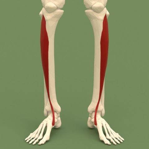 tibialis anterior muscle