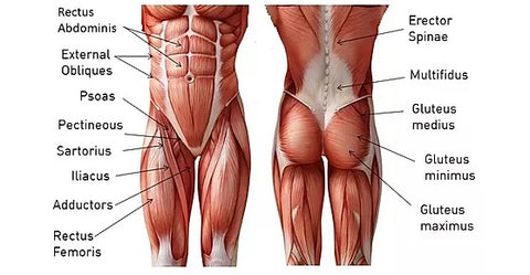 what are the core muscles