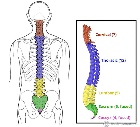 what is the thoracic spine
