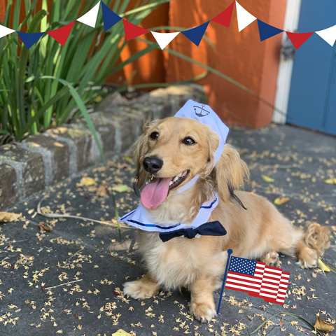 dachshund wearing a sailor dog costume for 4th of July
