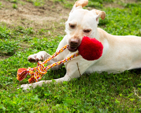 Labrador Retriever playing with a sesame street elmo rope dog toy