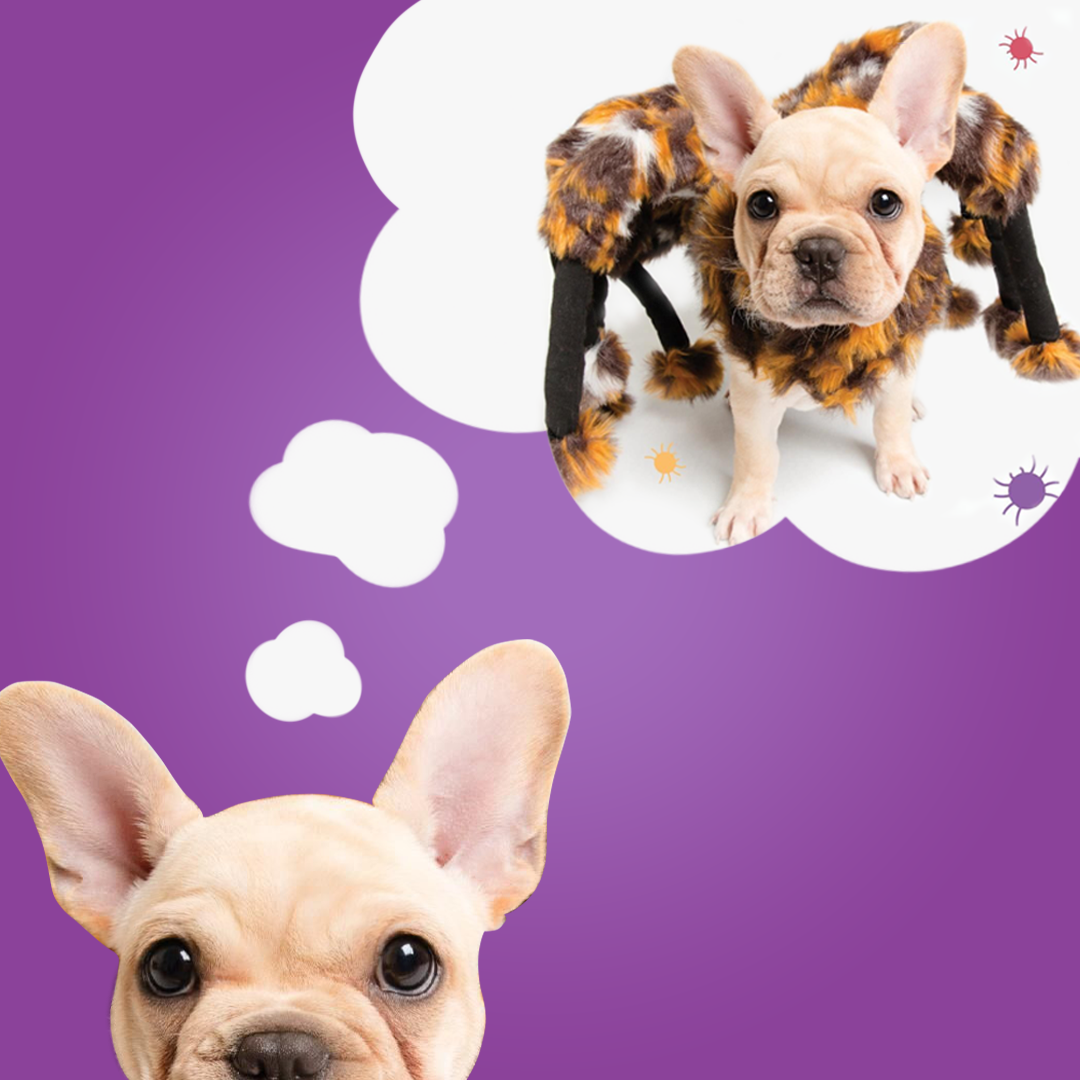 french bulldog dreaming about being dressed up in a spider dog costume and other halloween dog costumes