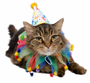 Cat dressed in colorful birthday celebration hat and collar costume