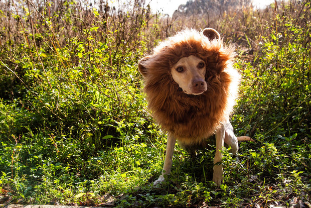 Beagle labrador mixed blond dog wearing a lion mane dog costume with ears in the jungle