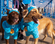 Large brown Australian Shepard mix dog and Smiling labrador golden retriever mix dog wearing cookie monster dog costumes