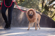 Woman walking a rhodesian ridgeback rescue dog wearing a lion mane dog costume with ears