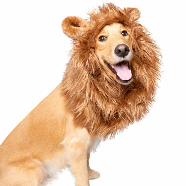 Smiling labrador golden retriever mix dog wears a lion mane dog costume with ears