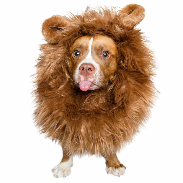 Medium-sized brown pit mix dog with its tongue sticking out wears a lion mane dog costume with ears