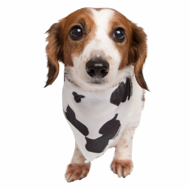 Multi color small dachshund dog wearing a cow print pet bandana