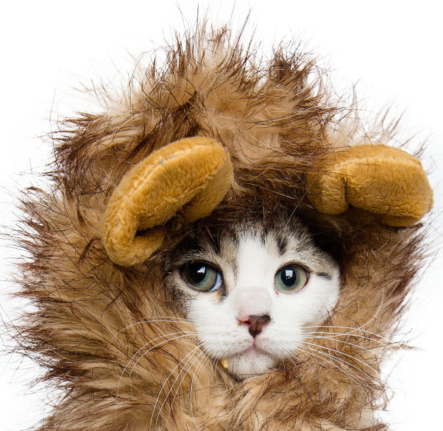 White cat wearing a Lion Mane Costume